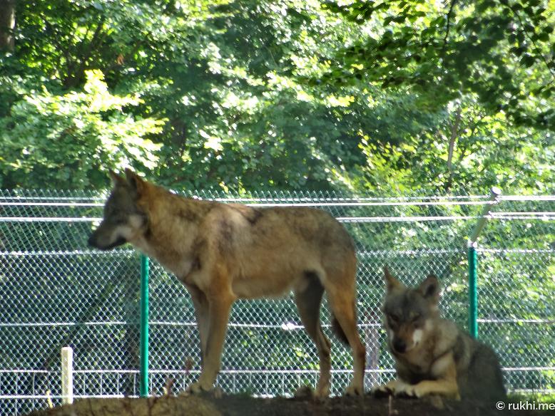 Wildfreigehege Wildenburg Wölfe