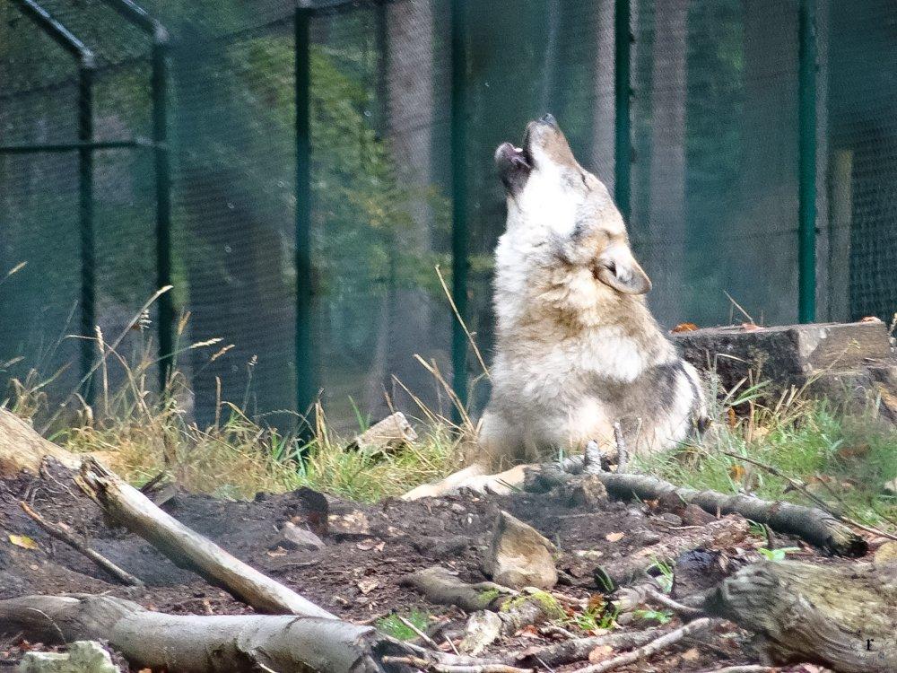 Wölfe Wildfreigehege Wildenburg