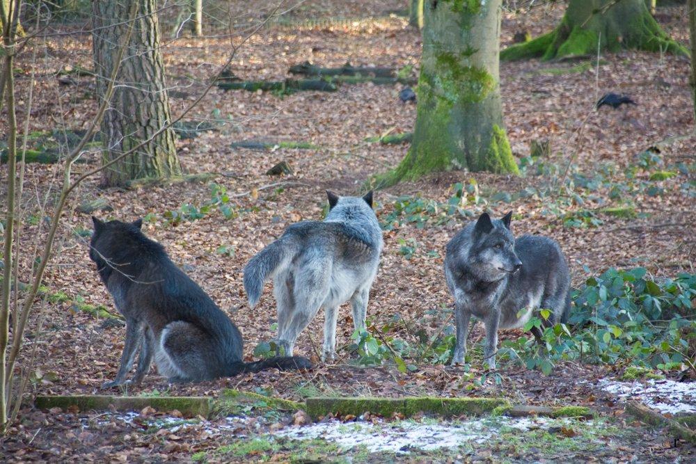 Wolfspark Werner Freund - Merzig - TimberWölfe