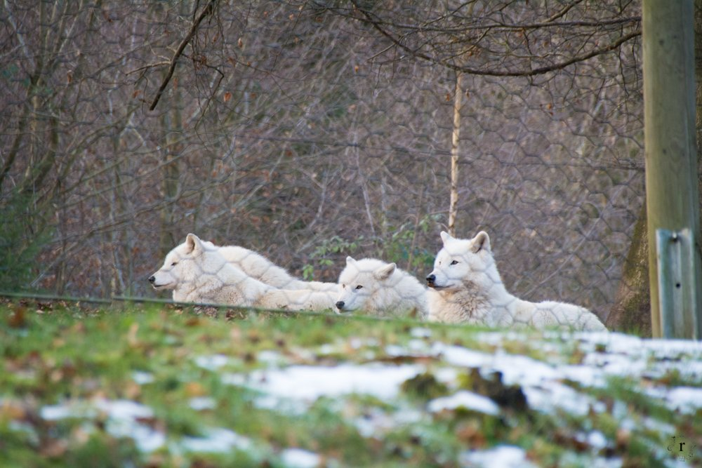 Wolfspark Werner Freund - Polarwölfe