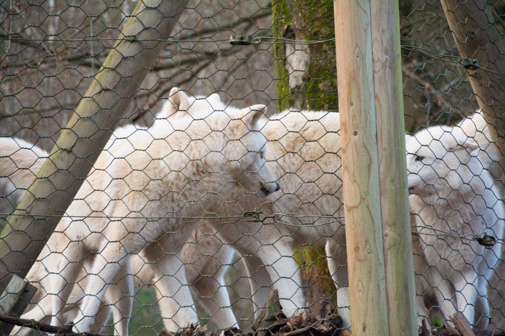 Wolfspark Werner Freund - Merzig - Polarwölfe