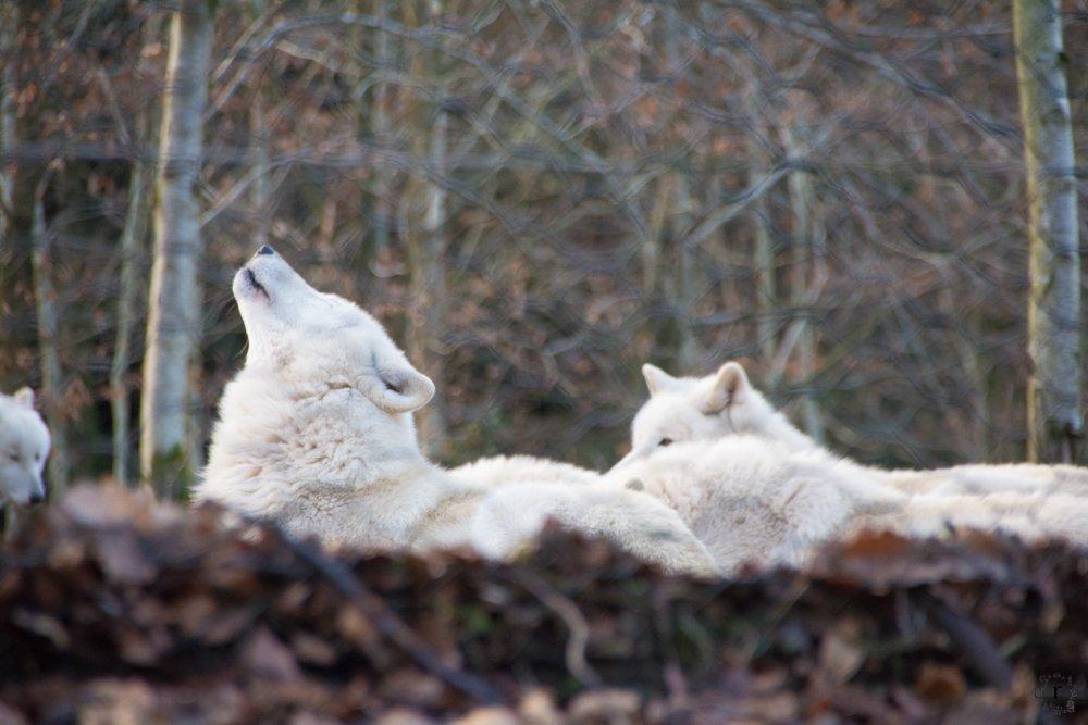 Wer hat Angst vorm saarländischen Wolf?   ein Micro Adventure im Wolfspark Werner Freund in Merzig