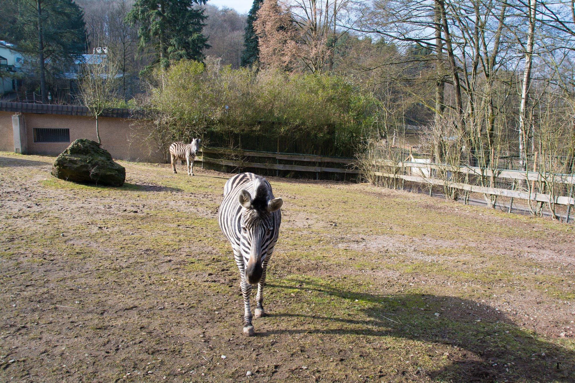 Neunkircher Zoo - Zebra