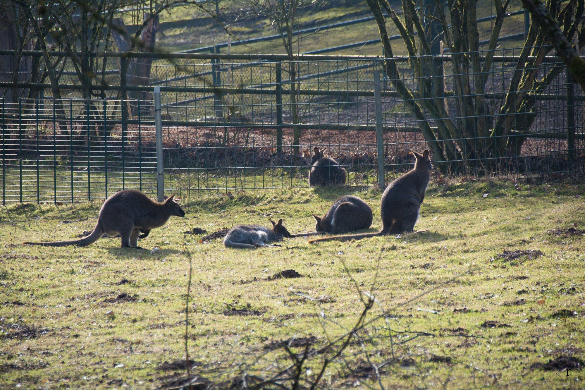 Neunkircher Zoo - Känguruh